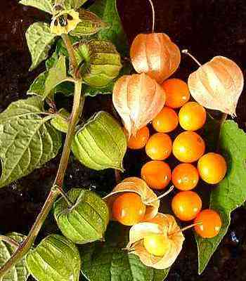 Inca Berry – Physalis peruviana – Cape Gooseberry