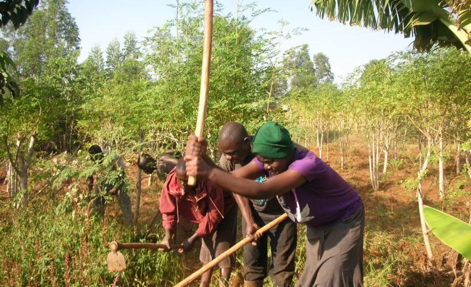 Weeding Moringa