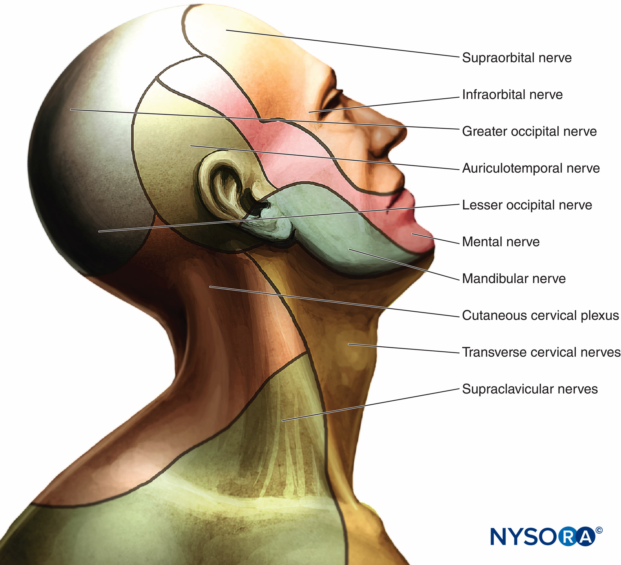 Describe The Cutaneouotor Innervation Of The Face
