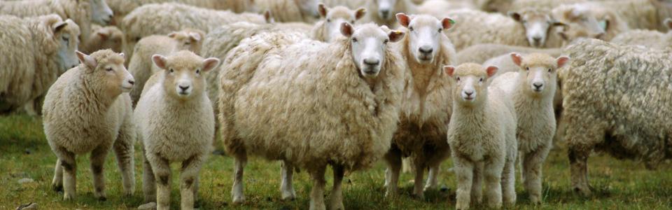 NZ_sheep960x300