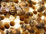 Honey bees brought to NZ
