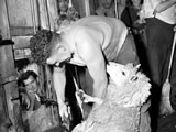 Godfrey Bowen sets world sheep-shearing record