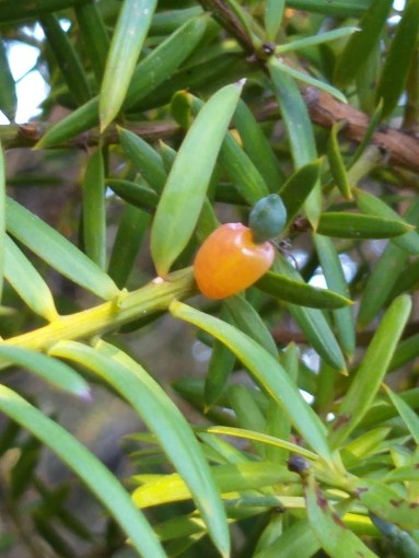 totara trees survived in the upland sites of the wetland and had better growth than kahikatea trees. 6 Totara Tree Facts A Mighty Native Tree New Zealand Nature Guy