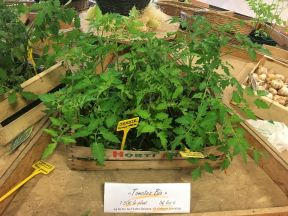 plants tomates