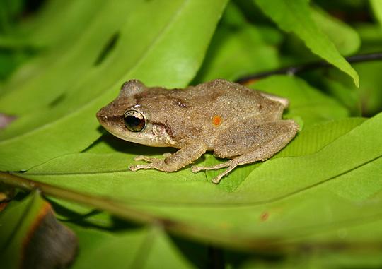 Coqui Frog  Oahu Invasive Species Committee OISC