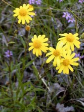Daisy-like yellow flowers