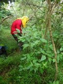OISC crew member removing a devil weed plant.