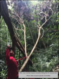 OISC crew felling a 40 foot tree.