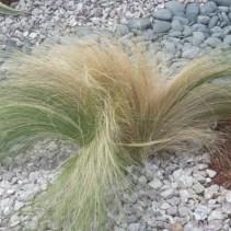 Mexican Feather Grass, Nasten, Nassella tenuissima,