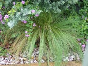 Mexican Feather Grass, Nasten, Nassella tenuissima