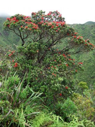 Healthy ʻōhiʻa