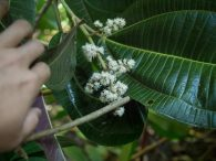 Flowers of the miconia plant.