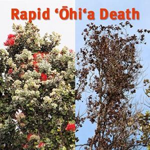 Rapid Ohia Death