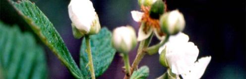 himalayanblackberry1