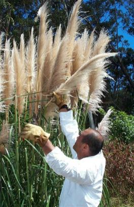 pampasgrass