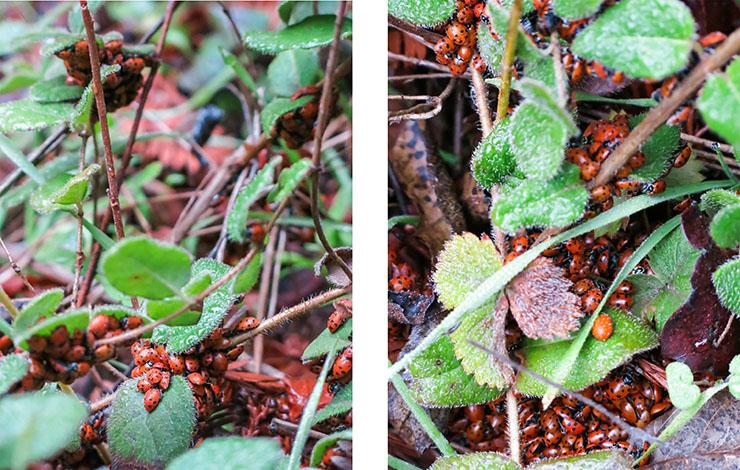 Lady Bugs 4