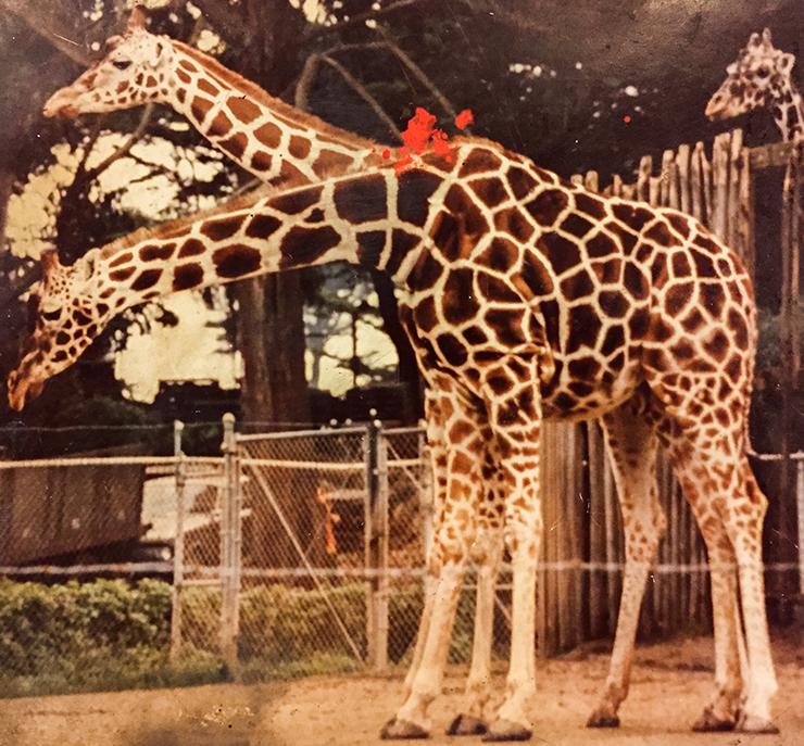 giraffe-18