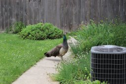 Reader Kirsten Weismantle caught a glimpse of this female peacock that found its way into the back yard of 229 Oak Park Ave. on Saturday.