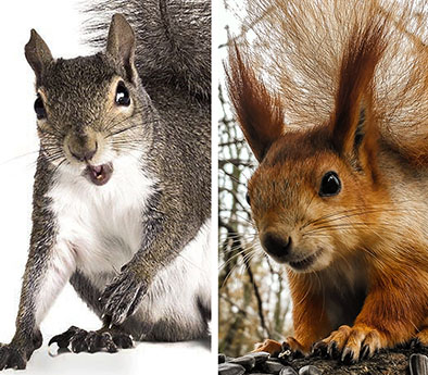 Grey and Fox squirrels, naturally segregated?