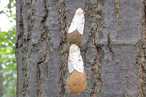 Image of Gypsy Moth egg masses.