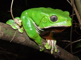 Amphibia-Hylidae-Phyllomedusa_bicolor-280x210