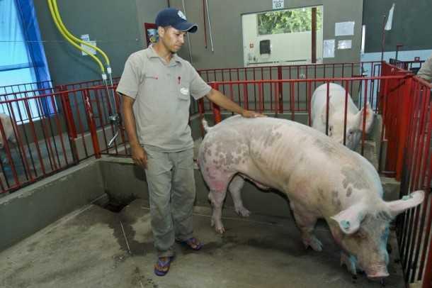 Animais chegam a pesar uma tonelada (Foto: Gleilson Miranda/Secom)