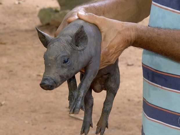 Produtor rural diz que há 30 anos trabalha com criação de suínos e nunca tinha visto um caso de hermafroditismo (Foto: Reprodução/TV Anhanguera)