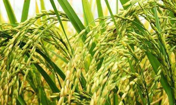 Plantação-de-arroz-no-Tocantins-500