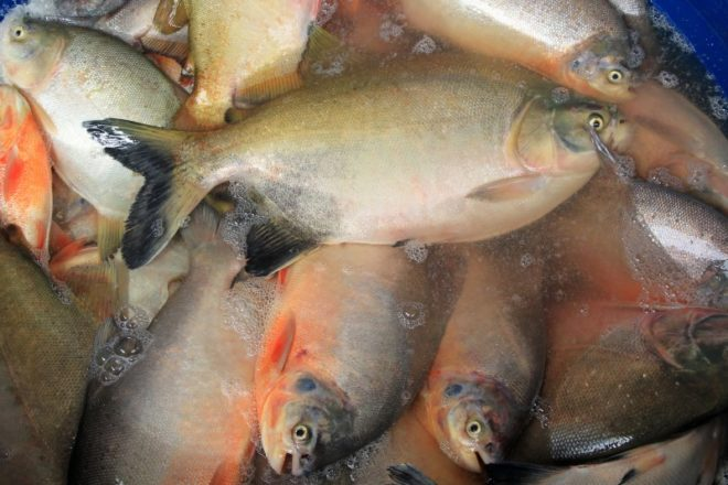 Centenas de toneladas de peixe foram fornecidos ao complexo, mas não foram pagos - Foto/divulgação