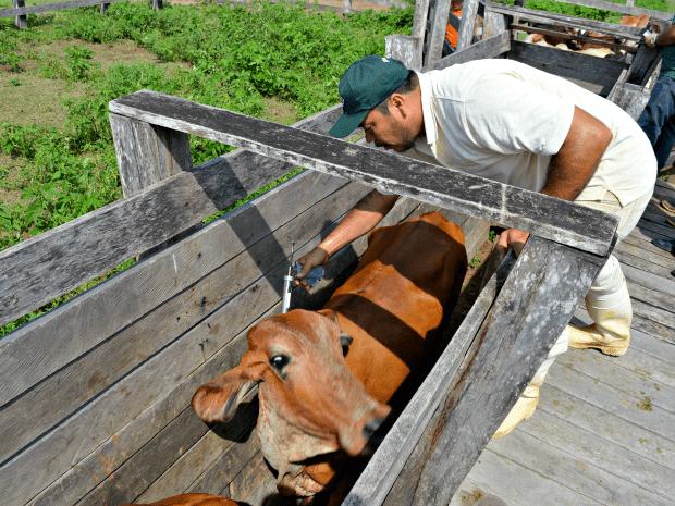 Acre vacinou quase 3 milhões de animais durante campanha para combater febre aftosa (Foto: Leônidas Badaró/Secom Acre)