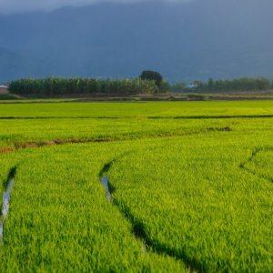 苗栗苑裡水稻友善農耕有益昆蟲之調查