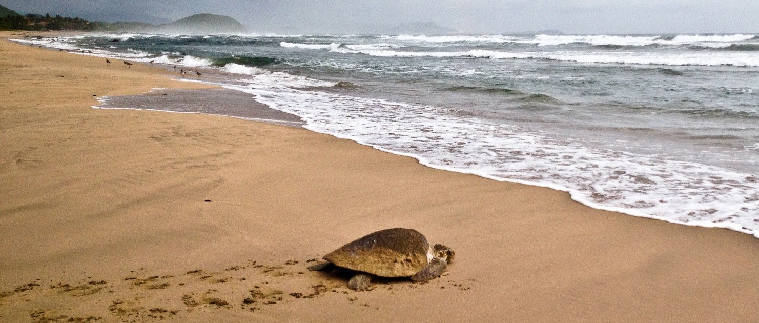 turtle on troncones beach
