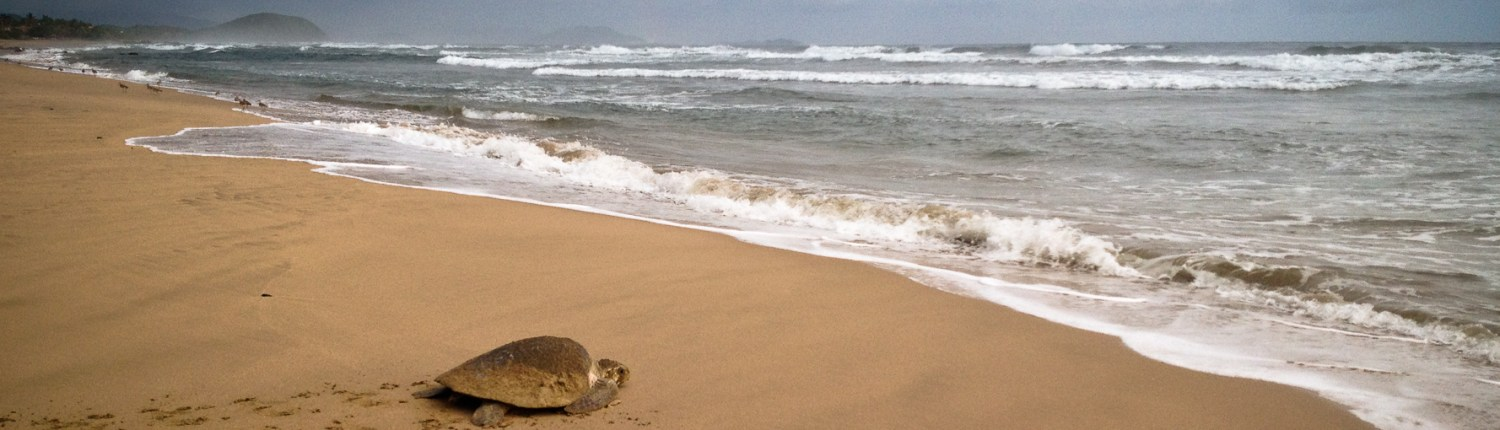 Sea turtle laying eggs right in front of Casa Oasis