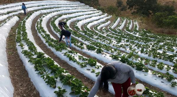 Crece el cultivo de frutos rojos en la Mixteca