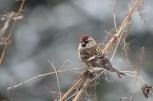Čečetka zimní (Carduelis flammea)