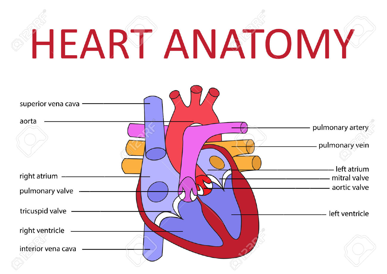 What Makes For A First Rate Heart Diagram