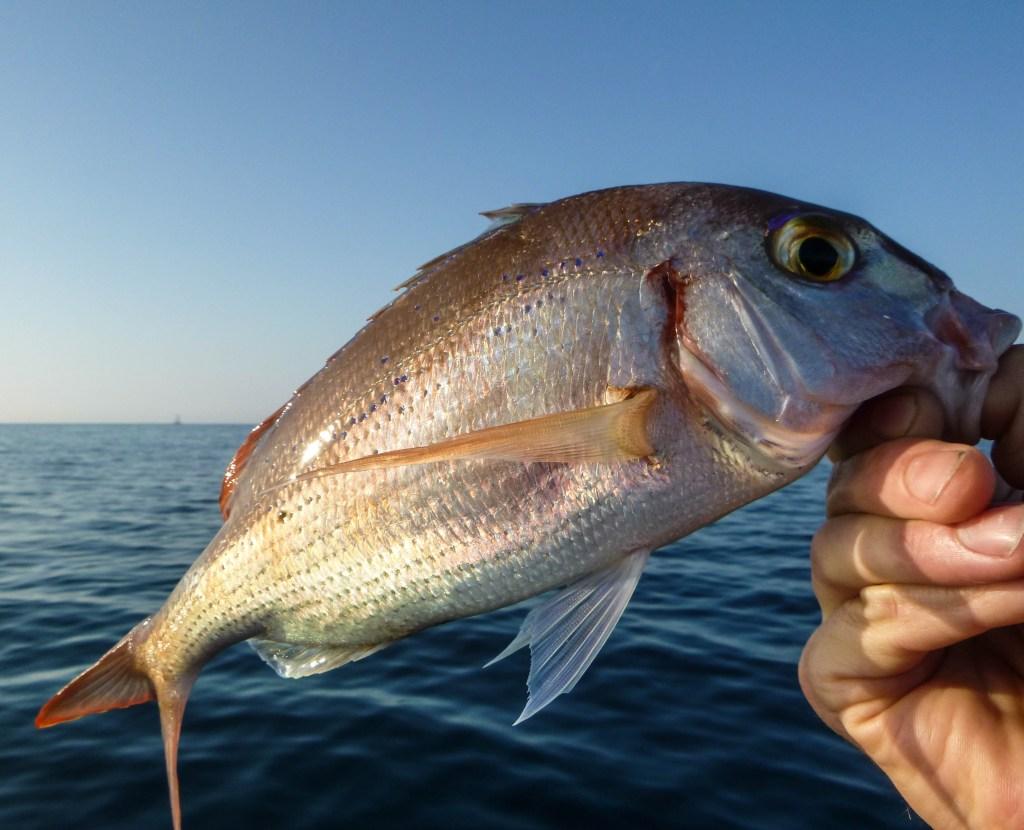 pêche pageot