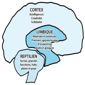 Cerveau et attitude des consommateurs