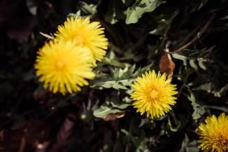 Taraxacum officinale L. (Gemeiner Löwenzahn)