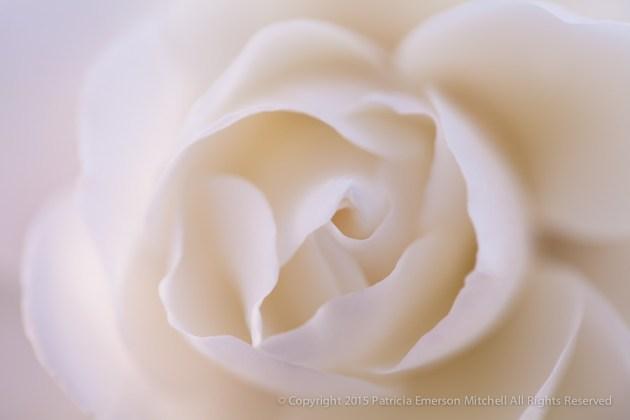 White_Rose_(I),_1.5.15