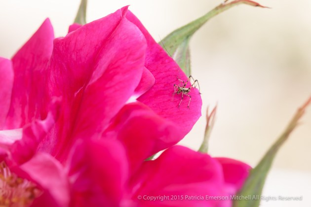 First_Shot-_Pink_Rose_and_a_Bug,_6.1.15