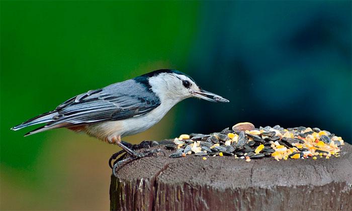 Trepadeira Azul Pica-Pau-De-Peito-Branco Pássaro