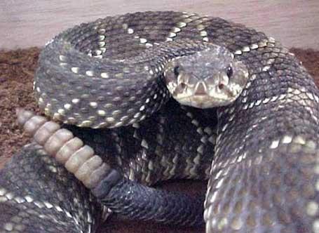 Foto de uma cobra cascavel pronta para o bote