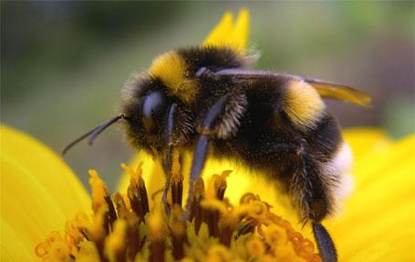 abelhas vítimas de celulares