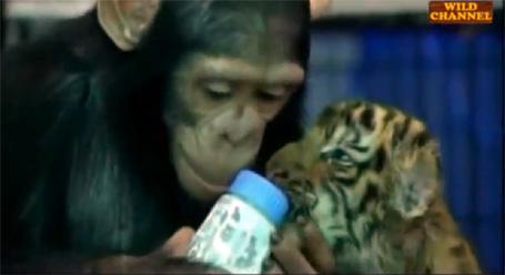 Chimpanzé dando leite para tigre