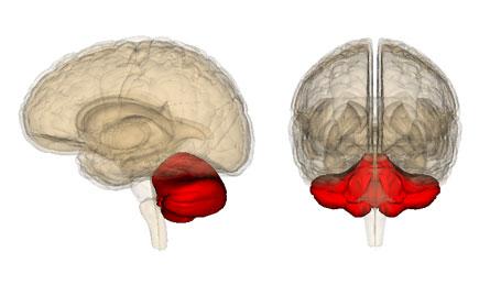 Imagem de um cerebelo humano