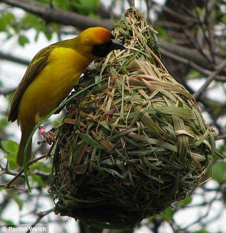 Foto de um pássaro tecelão construíndo seu ninho