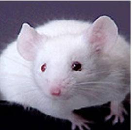 foto de um rato de laboratório