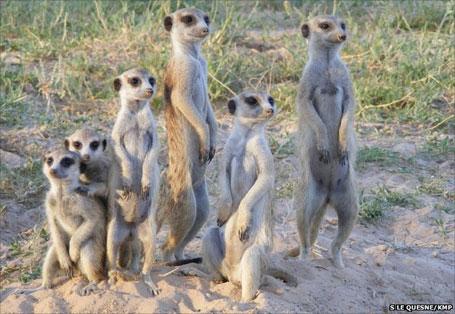 Foto do animal suricato em grupo