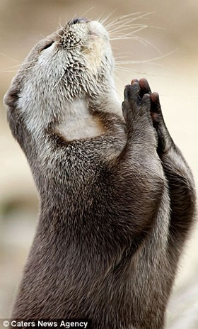 Foto de lontra rezando para Deus mandar comida